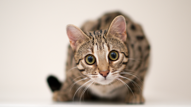 Florence - Our early generation bengal
