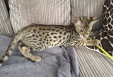 F2 Savannah little boy kitten available