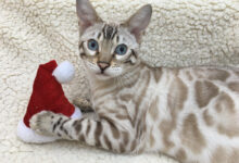 Hampsteadbengal snow rosetted twin male kittens
